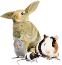 Guinea Pig Rabbit Mouse Rat Small Animal