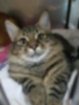 DSH Kitten.jpg