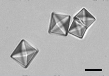 Large calcium oxalate dihydrate crystals