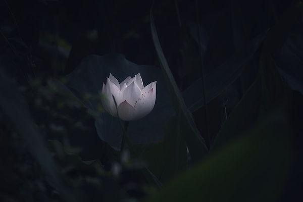 lotus-5446833_1280.jpg