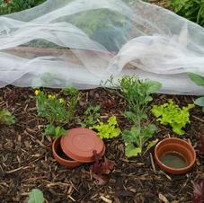 20210627 Brassica bed 2