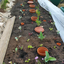 20210603 The planting of brassica bed 2