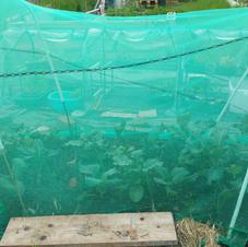20210603 Brassica bed growing