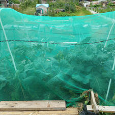 20210627 Brassicas are growing