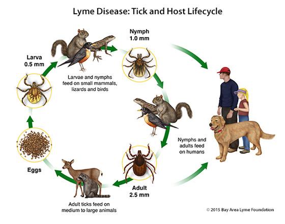 What Causes Lyme Disease?