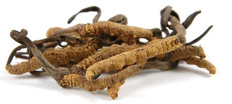 cordyceps-sinensis-caterpillar-fungus.jpg