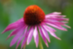 echinacea_1.jpg