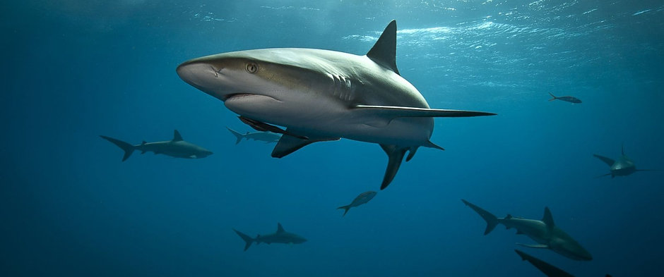 gty_reef_shark_mm_mm_150615_12x5_1600.jpg