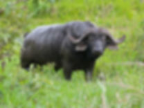 Buffalo_Bull_(Syncerus_caffer)_(11838910043).jpg