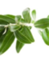 olive leaf 2.jpg