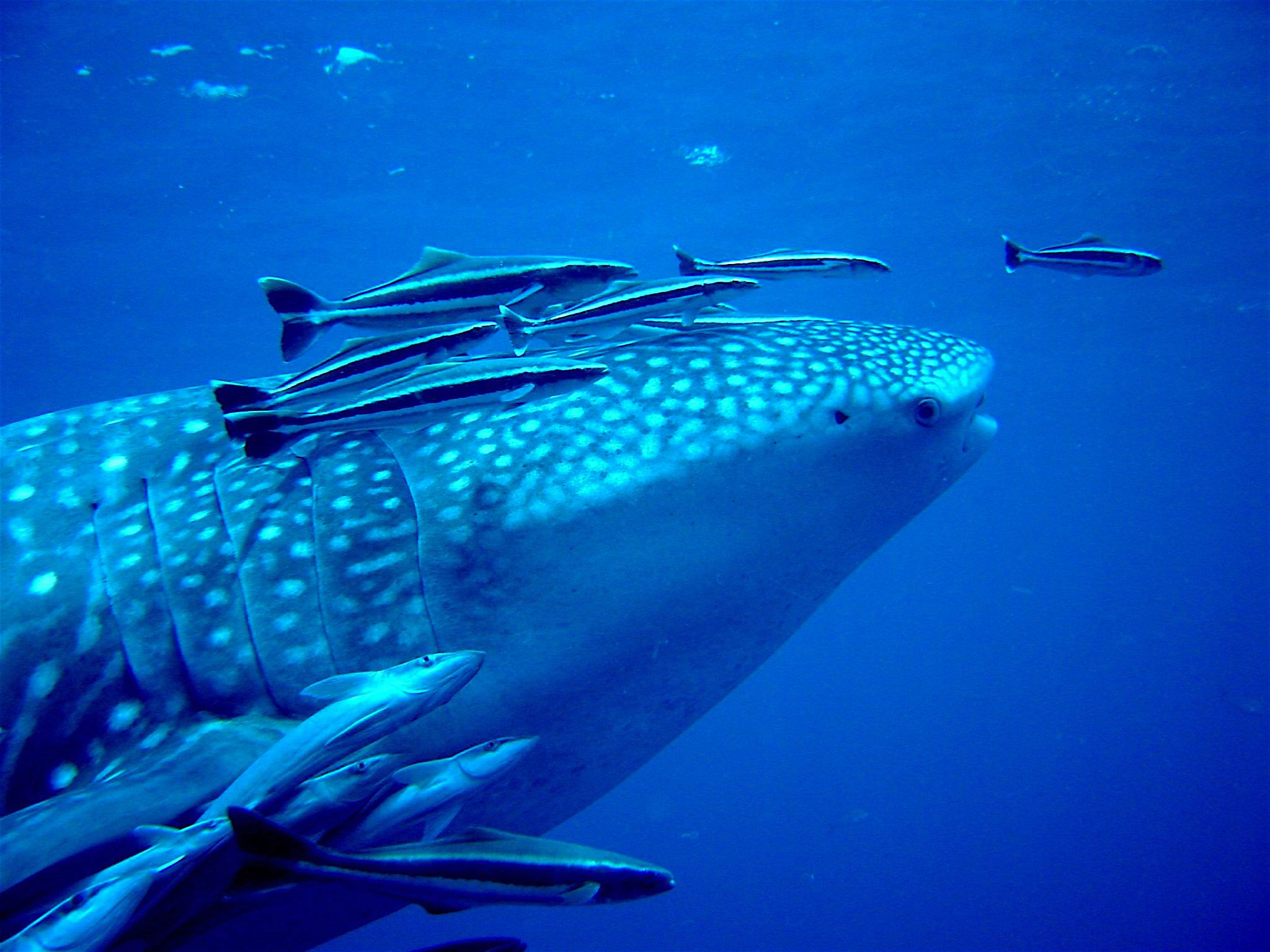 Whale Shark & Ramora