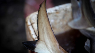 US Shark Fin Sales Elimination Act