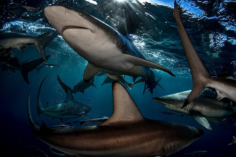 Top 100 shark facts.jpg
