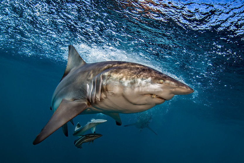 Support Shark Guardian.jpg