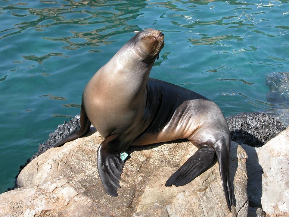 African Fur Seal
