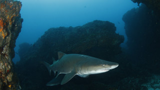 Spotted Ragged-tooth Shark