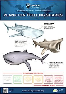 Plankton Feeding Sharks LR pic.png