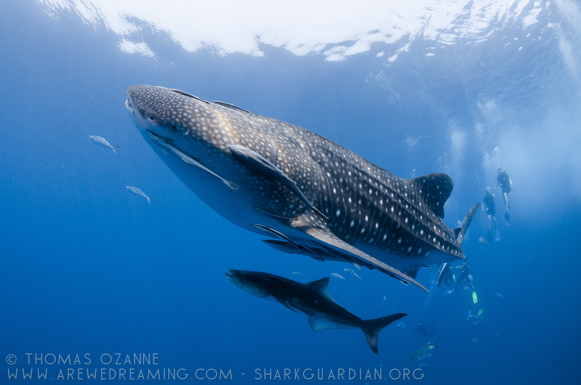 Whale Shark Spots
