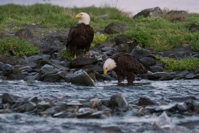 Bald Eagles, Juneau Alaska