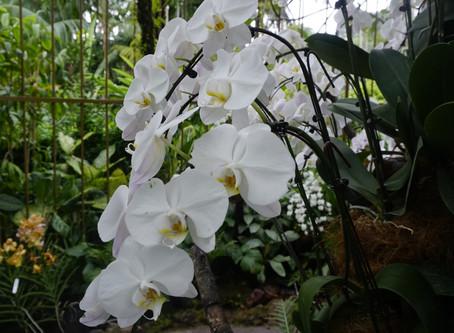 Singapore orchid flower