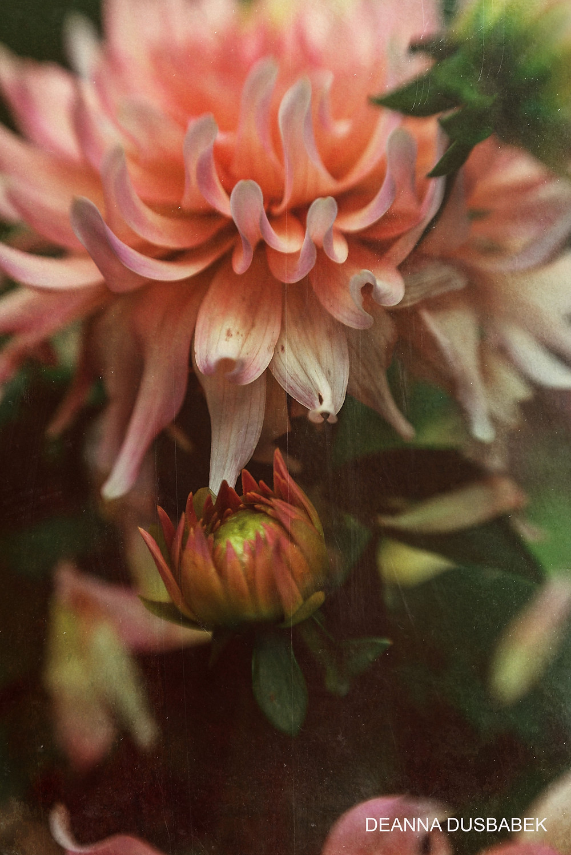 Closeup of an orange dahlia with a bud