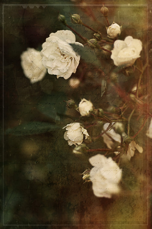 Fine Art Print: White French Roses