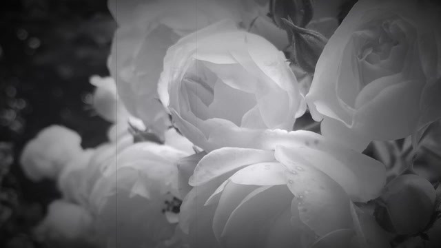 """Video """"Of My Encounter With Roses"""""""