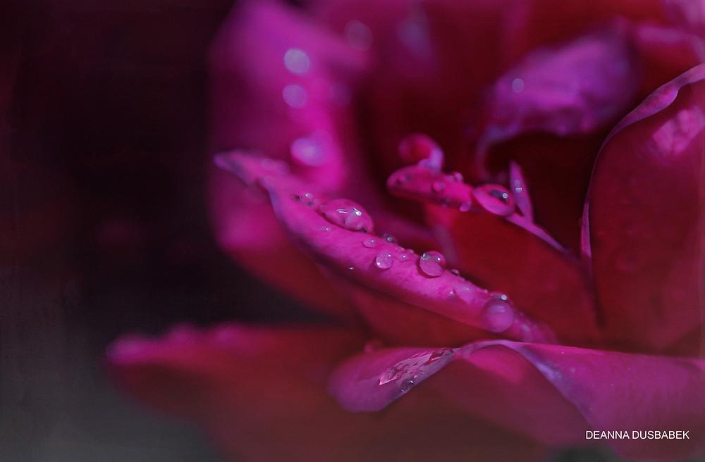 Red rose at dawn with dew drops
