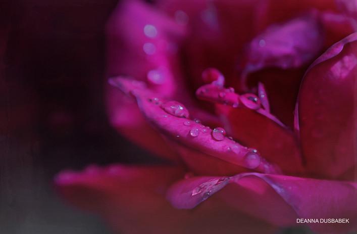 Deanna Dusbabek Photography fine art flower photography.