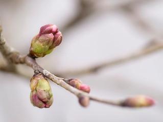 春はまだか
