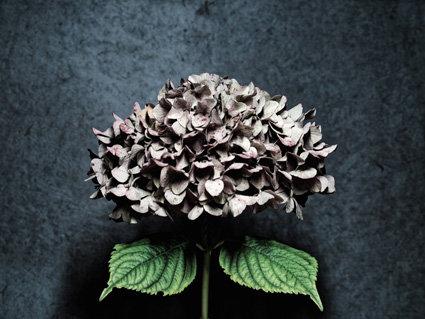 Hortensia bleu - Format 40x50cm