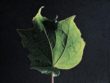 Feuille verte - Format 40x50cm