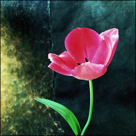 Tulipe rose - Format 40x50cm