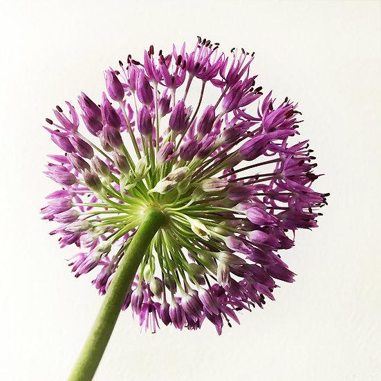Violette timide - Format 40x50cm