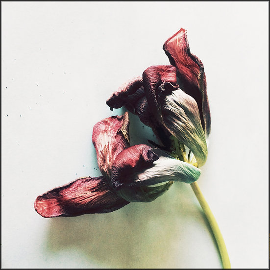Tulipe séchée - Format 40x50cm