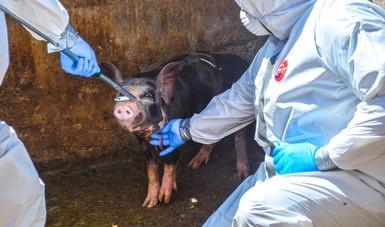 Crean México, EU y Canadá grupo de trabajo de salud porcina de América del Norte.