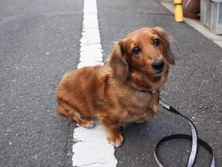 犬(ミニチュアダックスフンド)里親さん決まりました。