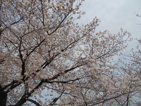 桜を見に行こう!!~サービス付き高齢者向け住宅「麻姑の雅 国富」~