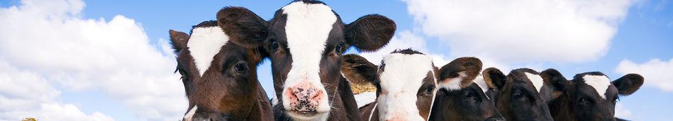 Holstein_Calves2_edited.jpg