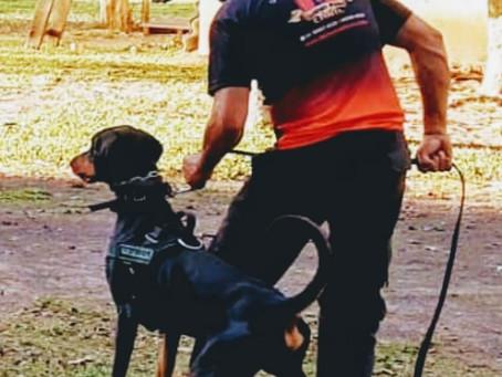 Dobermann RS  Criação de cães Funcionais  #Centrodeadestramentodobermannrs  #dobermanfuncionais