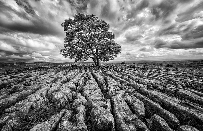 Lone Tree and Limestone Paving Malham in Yorkshire