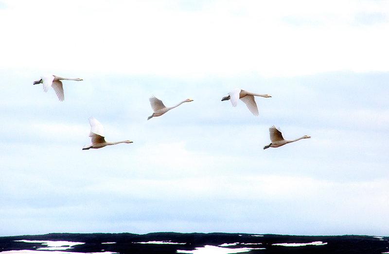 Whooper Swans