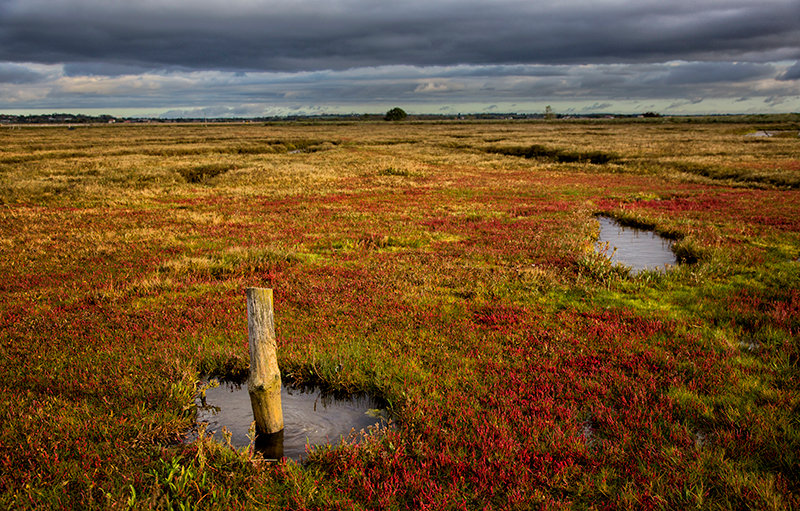 Red Glasswort Samphire on the Saltmarsh