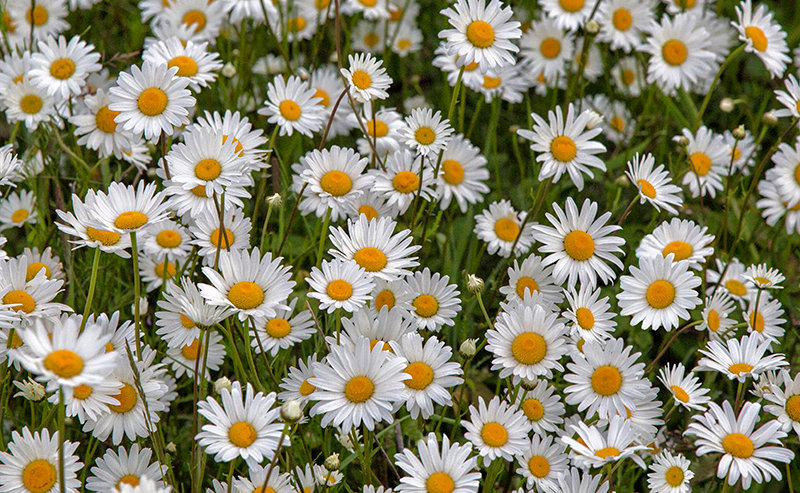 Ox Eye Daisies - Hove Creek