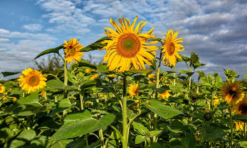Blue Row - Yellow Sunflowers!