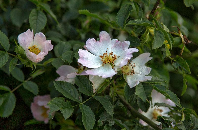Wild Roses at Cudmore Grove
