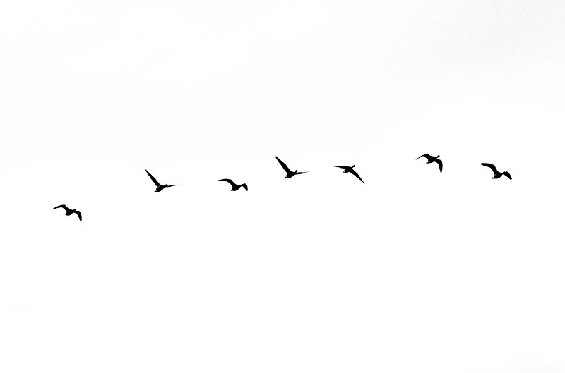 Where the Brent Geese Fly