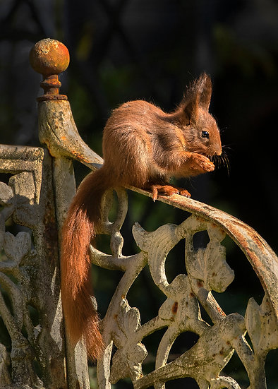 Red Squirrel - Rusty Bench