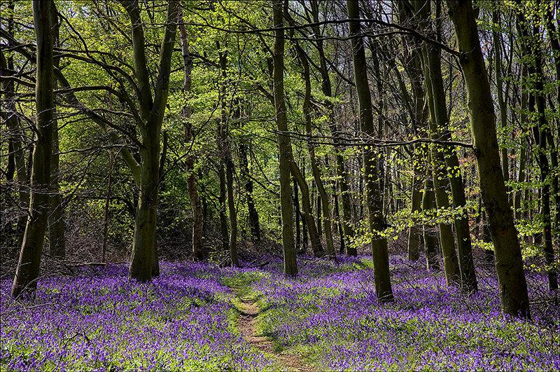 Bluebell Woods - Tiptree