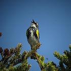 Yellow-rumped Warbler (male) copyright Ian Shanahan - RDM.JPG